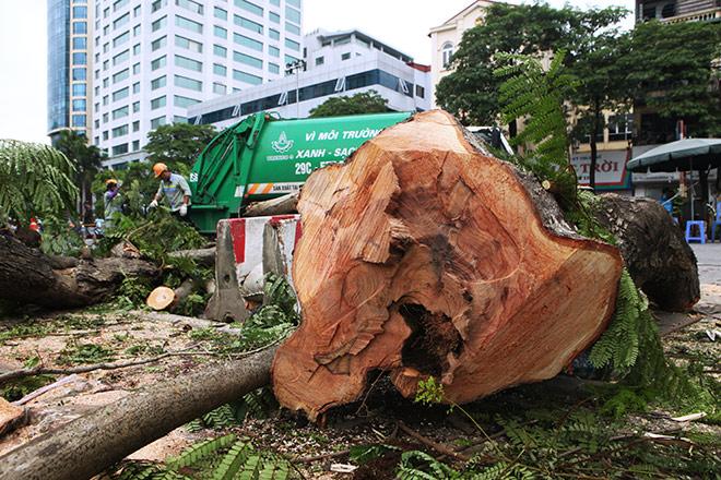 """Ảnh: Chặt hạ, di chuyển 130 """"cụ cây"""" trên đường Kim Mã - 4"""