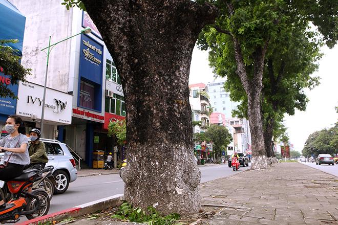 """Ảnh: Chặt hạ, di chuyển 130 """"cụ cây"""" trên đường Kim Mã - 8"""