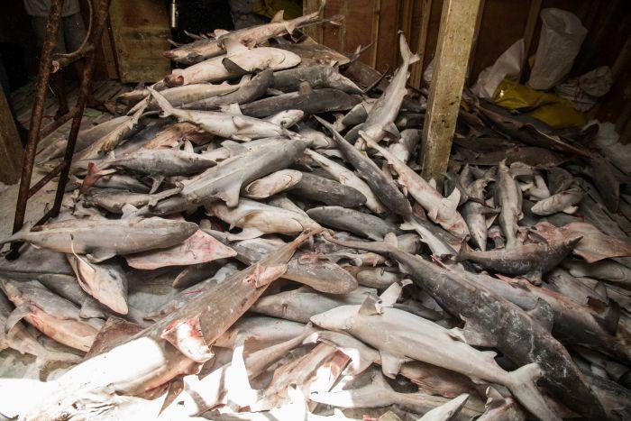 """Hàng ngàn cá mập chất đống như """"phim kinh dị"""" trong tàu TQ - 1"""