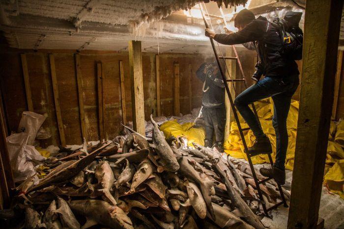 """Hàng ngàn cá mập chất đống như """"phim kinh dị"""" trong tàu TQ - 2"""
