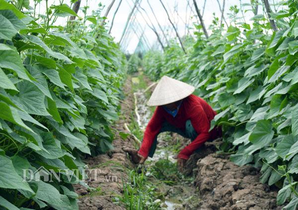 """Cách trồng hay: Đất mặn """"khó nhằn"""", rau màu vẫn xanh, kiếm nhanh 200 triệu - 2"""