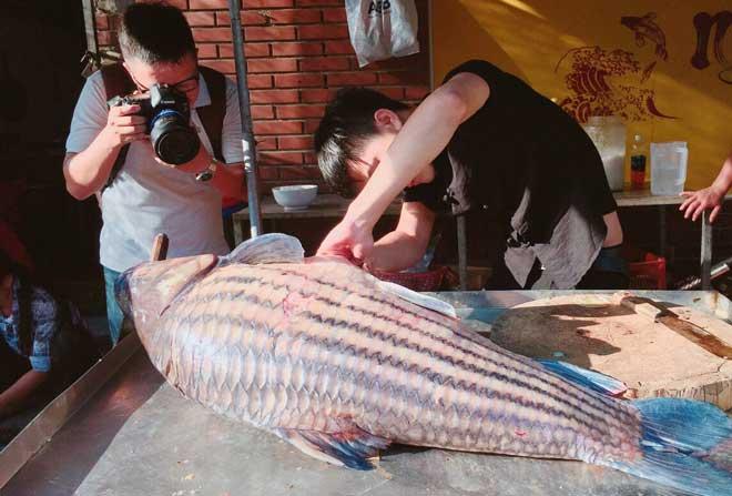 Cặp cá trà sóc nặng gần 1 tạ bắt từ Campuchia đưa về Hà Nội - 2