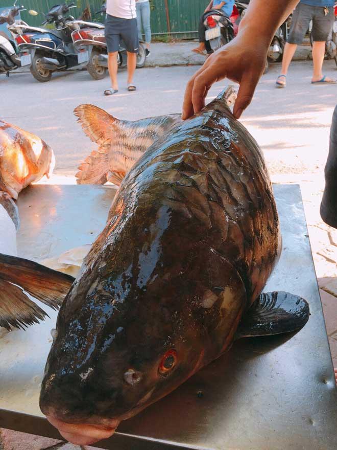 Cặp cá trà sóc nặng gần 1 tạ bắt từ Campuchia đưa về Hà Nội - 5
