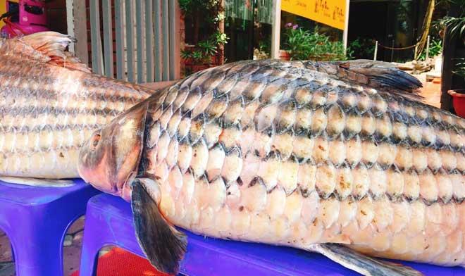 Cặp cá trà sóc nặng gần 1 tạ bắt từ Campuchia đưa về Hà Nội - 3