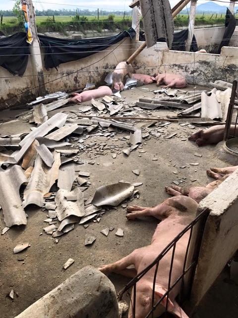 Lợn chết như ngả rạ sau bão, giá lợn miền Trung sẽ tăng? - 1