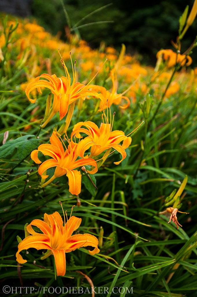 Choáng ngợp lễ hội hoa lily lớn nhất hành tinh - 6