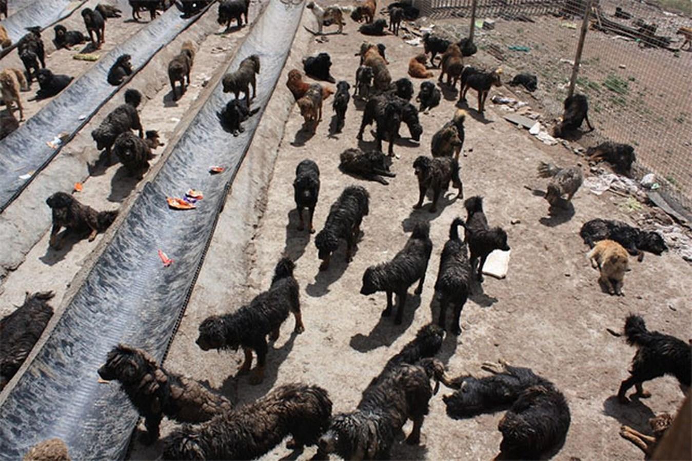 TQ: Chó ngao Tây Tạng kết đàn hùng hậu đi phá xóm làng - 2