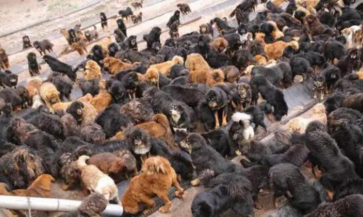 TQ: Chó ngao Tây Tạng kết đàn hùng hậu đi phá xóm làng - 1