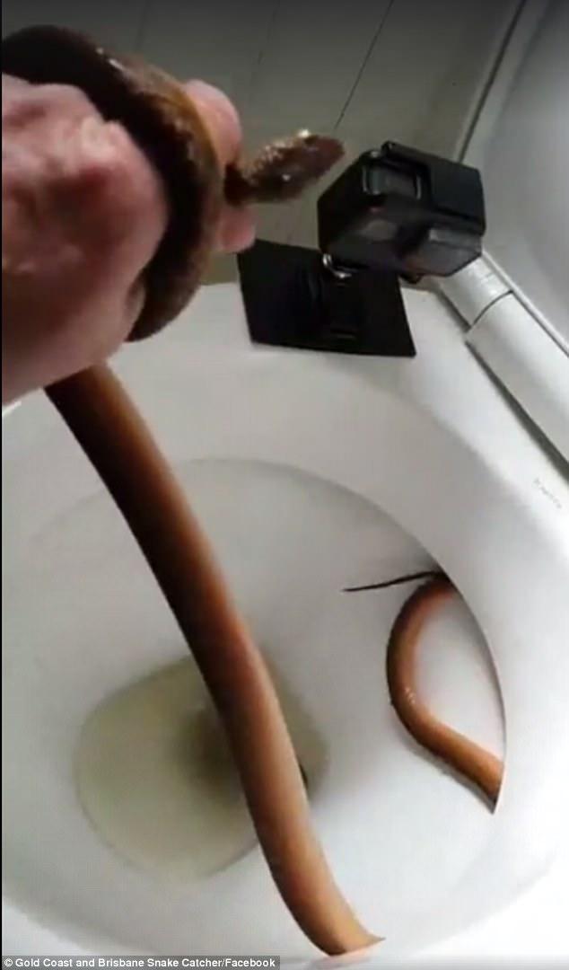 Dùng tay không thò vào bồn cầu lôi ra con rắn độc - 1