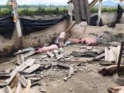 Thị trường - Tiêu dùng - Lợn chết như ngả rạ sau bão, giá lợn miền Trung sẽ tăng?