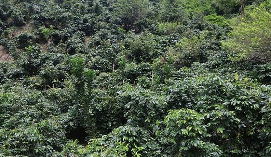 """Canh tác lạ: Trồng """"lung tung"""" các cây trên đất dốc, thu nhập nhân đôi - 2"""