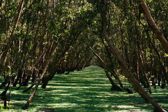 Mùa này về miền Tây ghé rừng tràm Trà Sư là nhất - 5