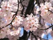 Lung linh lóng lánh sắc hoa anh đào