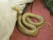 Thế giới - Choáng vì thấy loài rắn độc nhất hành tinh trên giường