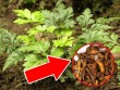 Kỳ lạ: Huyết áp xuống 120, thoát đau đầu sau 2 lần tai biến nhờ cây dại