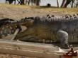 """Úc: Cá sấu khổng lồ bị bắn thủng sọ, nguy cơ """"bạo loạn"""""""