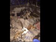 Thế giới - Ấn Độ: Bắt trộm 26 con chó, chuẩn bị đem luộc sống