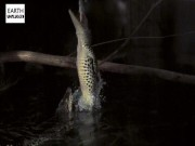 Kinh dị cá sấu từ dưới nước phi dựng đứng lên cao đớp mồi