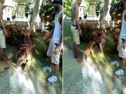 Thế giới - Quái dị: Hổ lớn bị chó nhỏ dọa sợ co rúm người bỏ chạy