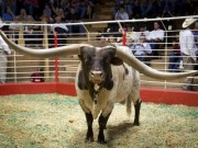 Chú bò có sừng dài nhất thế giới giá 3,75 tỷ đồng
