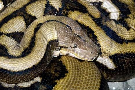 Chú rắn dài nhất thế giới qua đời - 4
