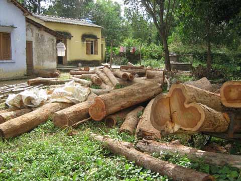 Kon Tum: Lâm tặc băm nát rừng gỗ trắc - 1