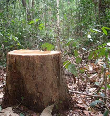 Kon Tum: Lâm tặc băm nát rừng gỗ trắc - 7