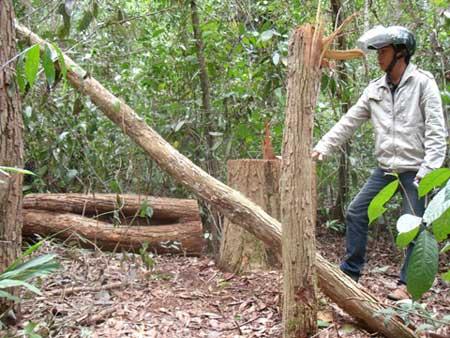 Kon Tum: Lâm tặc băm nát rừng gỗ trắc - 4