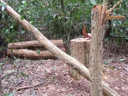 Kon Tum: Lâm tặc băm nát rừng gỗ trắc - 3