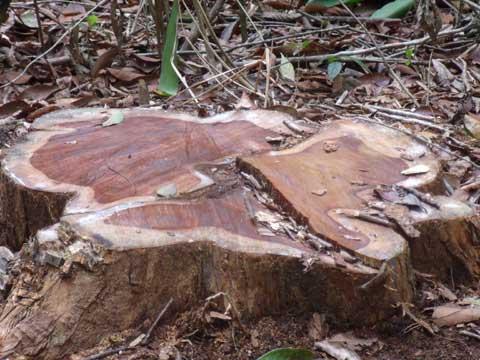 Kon Tum: Lâm tặc băm nát rừng gỗ trắc - 6