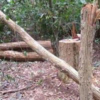 Kon Tum: Lâm tặc băm nát rừng gỗ trắc