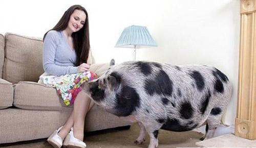 Mua nhầm heo cảnh thành lợn ỉn - 2