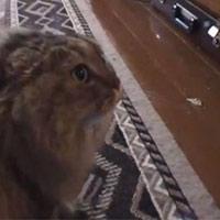 Video: Chú mèo kêu như tiếng người