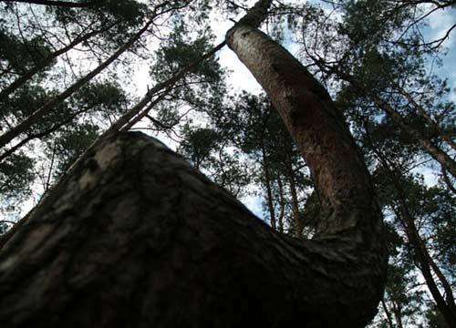 Khu rừng bí ẩn với những thân cây lạ - 2