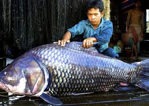 Những thủy quái từng bị bắt tại sông Mekong - 1