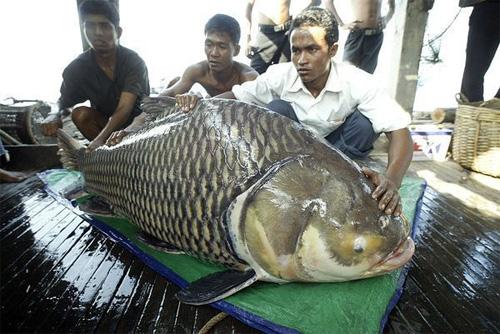 Những thủy quái từng bị bắt tại sông Mekong - 10