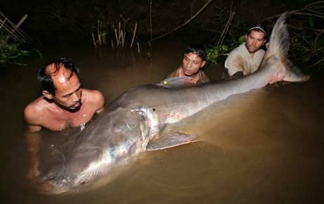 Những thủy quái từng bị bắt tại sông Mekong - 2