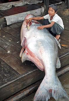 Những thủy quái từng bị bắt tại sông Mekong - 4