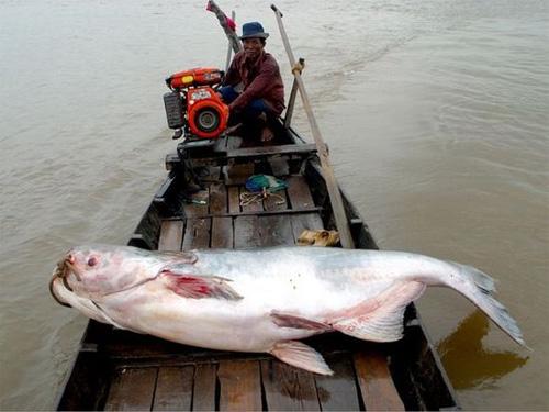 Những thủy quái từng bị bắt tại sông Mekong - 6