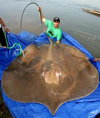 Những thủy quái từng bị bắt tại sông Mekong - 7