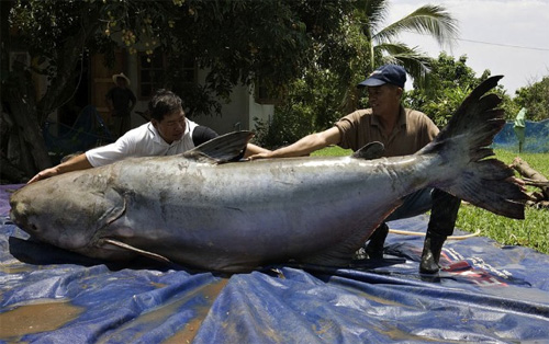 Những thủy quái từng bị bắt tại sông Mekong - 9