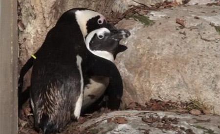 Mối tình đồng tính của chim cánh cụt - 1