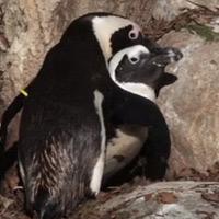 Mối tình đồng tính của chim cánh cụt