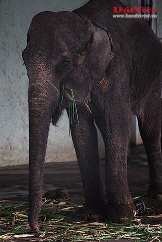 Đau xót nhìn voi Thủ Lệ gầy trơ xương - 10
