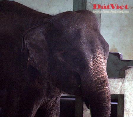 Đau xót nhìn voi Thủ Lệ gầy trơ xương - 11