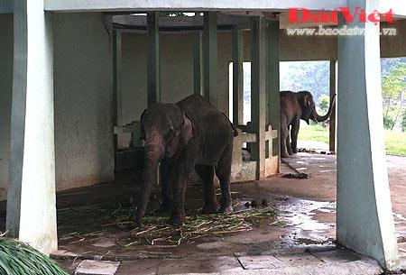 Đau xót nhìn voi Thủ Lệ gầy trơ xương - 2