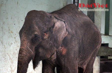 Đau xót nhìn voi Thủ Lệ gầy trơ xương - 3