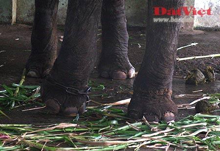 Đau xót nhìn voi Thủ Lệ gầy trơ xương - 5