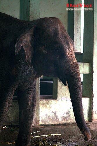 Đau xót nhìn voi Thủ Lệ gầy trơ xương - 6