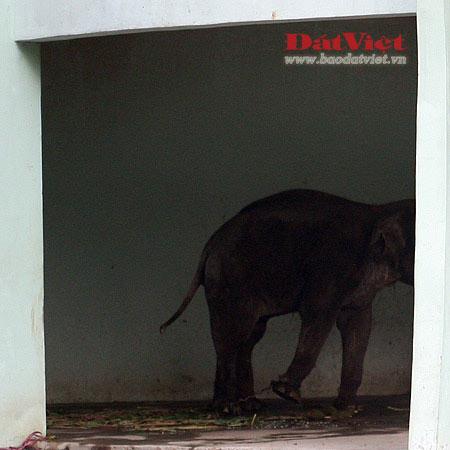 Đau xót nhìn voi Thủ Lệ gầy trơ xương - 7